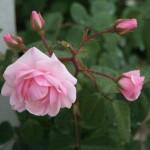 """Rosa """"Color Rosa"""""""