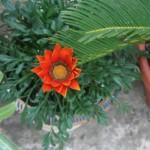 Non mi ricordo come si chiama questo fiore