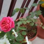 """Rosa """"Color Rosa Carico"""""""