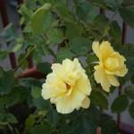 Rosa Gialla Profumatissima