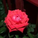 Rosa di Mino