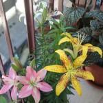 Lilium rosa, gialli e cappuccino